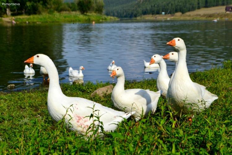 Башкирские гуси выращивание 84