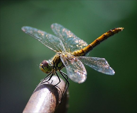 Dragonfly 44